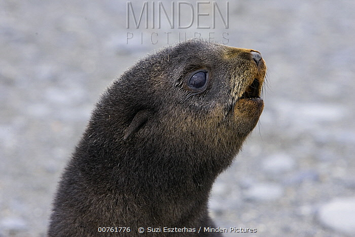 Antarctic Fur Seal (Arctocephalus gazella) 1 to 2 week old pup calling for its mother, Salisbury Plain, South Georgia  -  Suzi Eszterhas