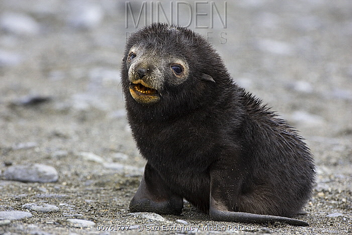 Antarctic Fur Seal (Arctocephalus gazella) pup less than 1 week old, Salisbury Plain, South Georgia  -  Suzi Eszterhas