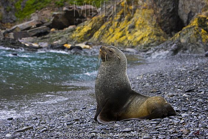 Antarctic Fur Seal (Arctocephalus gazella) bull on shore, Hercules Bay, South Georgia  -  Suzi Eszterhas