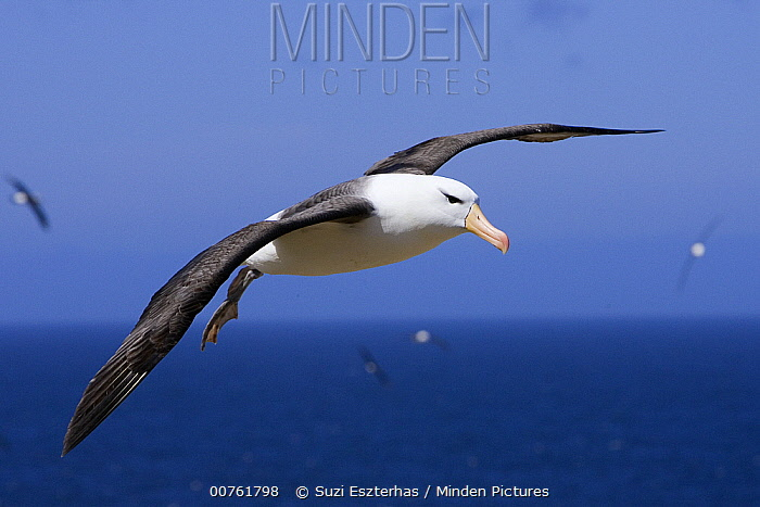 Black-browed Albatross (Thalassarche melanophrys) flying, endangered, Steeple Jason, Falkland Islands  -  Suzi Eszterhas