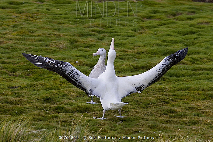 Wandering Albatross (Diomedea exulans) adult male and immature male engaed in courtship display, vulnerable, Prion Island, South Georgia  -  Suzi Eszterhas
