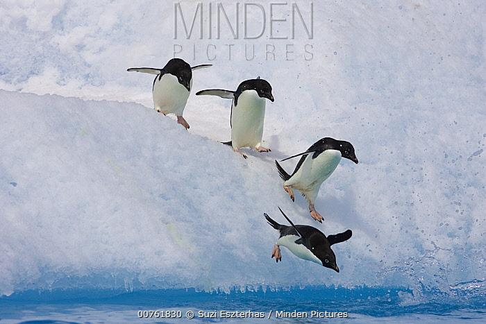 Adelie Penguin (Pygoscelis adeliae) group diving off iceberg, Paulet Island, Antarctica  -  Suzi Eszterhas