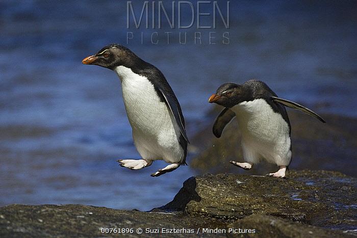 Southern Rockhopper Penguin (Eudyptes chrysocome) hopping from rock to rock, New Island, Falkland Islands  -  Suzi Eszterhas