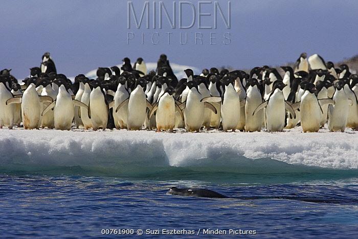 Leopard Seal (Hydrurga leptonyx) circling Adelie Penguins (Pygoscelis adeliae) on ice floe as penguins watch from the ice edge, Paulet Island, Antarctica  -  Suzi Eszterhas