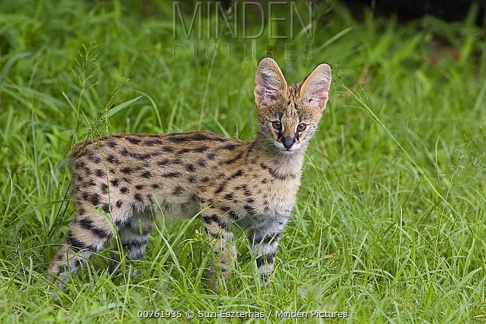 Serval (Leptailurus serval) kitten, thirteen week old orphan, Masai Mara, Kenya  -  Suzi Eszterhas