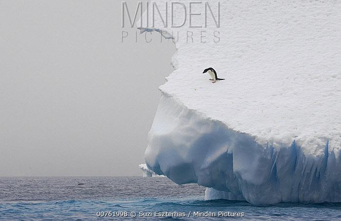 Adelie Penguin (Pygoscelis adeliae) on edge of iceberg, Paulet Island, Antarctica  -  Suzi Eszterhas