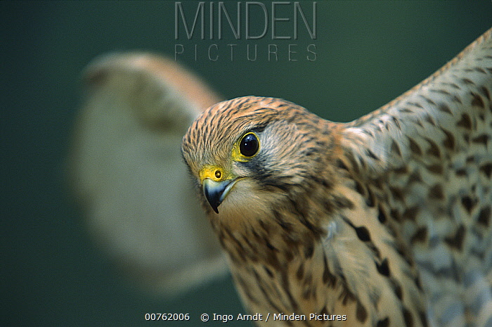 Eurasian Kestrel (Falco tinnunculus) portrait with spread wings, native to Europe  -  Ingo Arndt