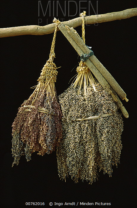 Grass (Sorghum sp) and Pearl Millet (Penissetum sp) bunches, annual grasses grown as grain and animal fodder, Sahel Desert, Mali, west Africa  -  Ingo Arndt