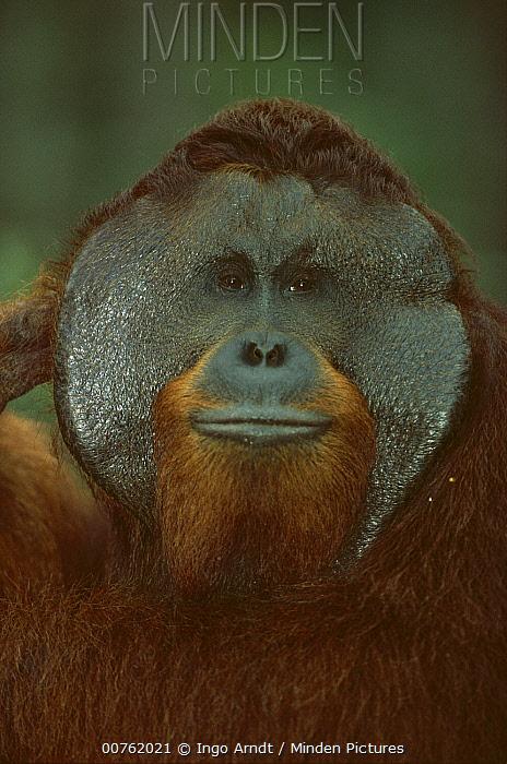 Orangutan (Pongo pygmaeus) portrait of adult male with large cheek pads, Tanjung Puting National Park, Kalimantan, Borneo  -  Ingo Arndt