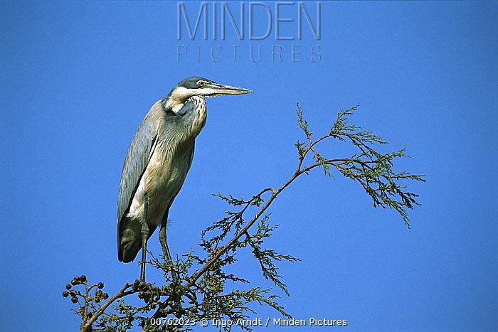 Black-headed Heron (Ardea melanocephala) perched high in tree, Rwanda  -  Ingo Arndt
