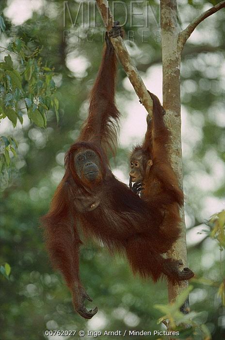Orangutan (Pongo pygmaeus) female and baby in tree, Tanjung Puting National Park, Kalimantan, Borneo  -  Ingo Arndt