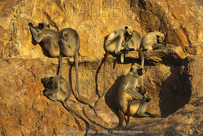 Hanuman Langur (Semnopithecus entellus) group on sleeping rock, Jodhpur, India  -  Ingo Arndt