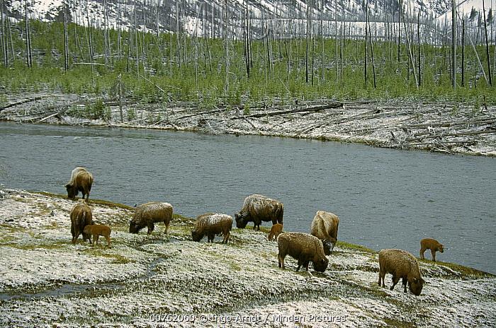 American Bison (Bison bison) herd at Madison River, Yellowstone National Park, Wyoming  -  Ingo Arndt