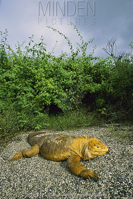 Galapagos Land Iguana (Conolophus subcristatus) sunning individual, Isabella Island, Galapagos Islands, Ecuador  -  Ingo Arndt
