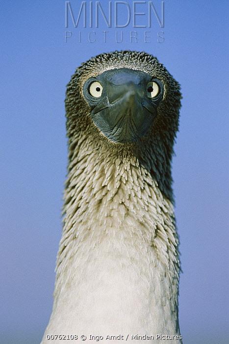 Blue-footed Booby (Sula nebouxii) portrait, Seymour Island, Galapagos Islands, Ecuador  -  Ingo Arndt