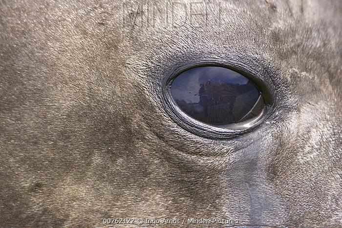 Southern Elephant Seal (Mirounga leonina) eye of adult female, South Georgia Island  -  Ingo Arndt
