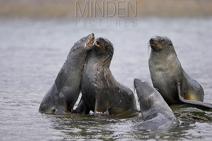 Antarctic Fur Seal (Arctocephalus gazella) group play-fighting, South Georgia Island  -  Ingo Arndt