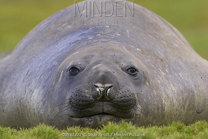 Southern Elephant Seal (Mirounga leonina) adult female, sub-Antarctica, South Georgia Island  -  Ingo Arndt
