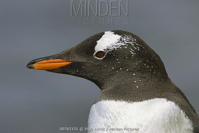 Gentoo Penguin (Pygoscelis papua) profile, South Georgia Island  -  Ingo Arndt