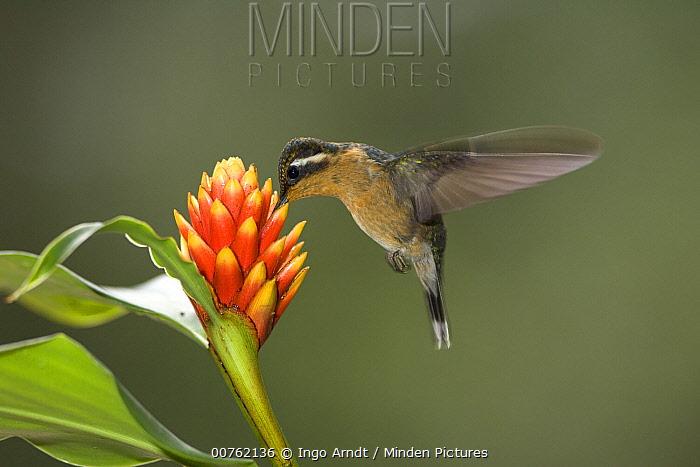 Purple-throated Mountain-gem (Lampornis calolaemus) hummingbird drinking nectar, Monte Verde, Costa Rica  -  Ingo Arndt