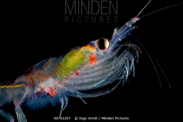 Antarctic Krill (Euphausia superba) with yellow algae in stomach, a small shrimp-like crustacean is the most important zooplankton in the Antarctic food web, Weddell Sea, Antarctica  -  Ingo Arndt