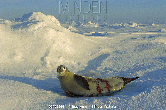Crabeater Seal (Lobodon carcinophagus) wounded by Leopard Seal (Hydrurga leptonyx), Weddell Sea, Antarctica  -  Ingo Arndt