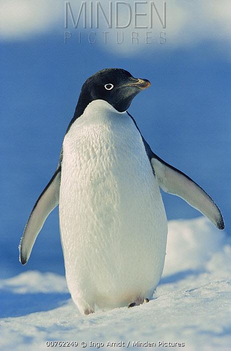 Adelie Penguin (Pygoscelis adeliae), Weddell Sea, Antarctica  -  Ingo Arndt