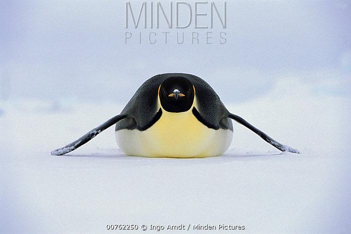 Emperor Penguin (Aptenodytes forsteri) tobogganing on ice, Weddell Sea, Antarctica  -  Ingo Arndt