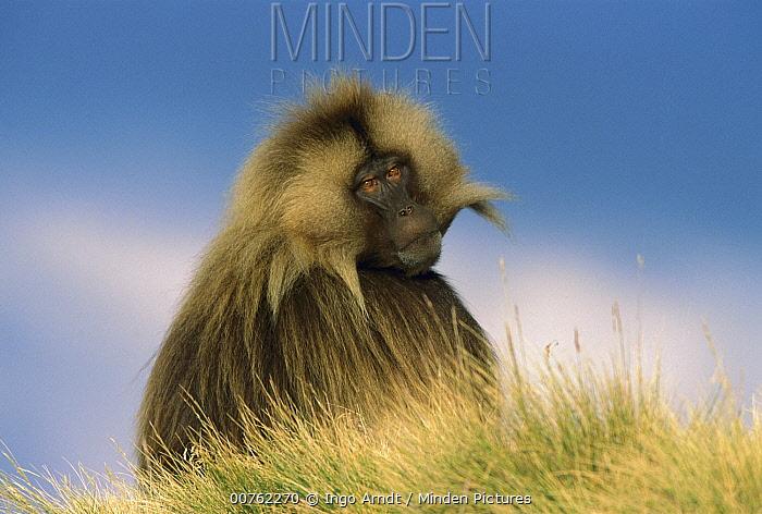 Gelada Baboon (Theropithecus gelada) adult male, portrait, Simien Mountain National Park, Ethiopia  -  Ingo Arndt