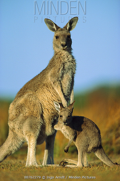 Eastern Grey Kangaroo (Macropus giganteus) joey reaching into mother's pouch, Wilson's Promontory National Park, Australia  -  Ingo Arndt