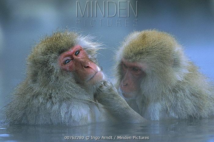 Japanese Macaque (Macaca fuscata) pair grooming in hot spring, Joshinetsu Plateau National Park, Japan  -  Ingo Arndt