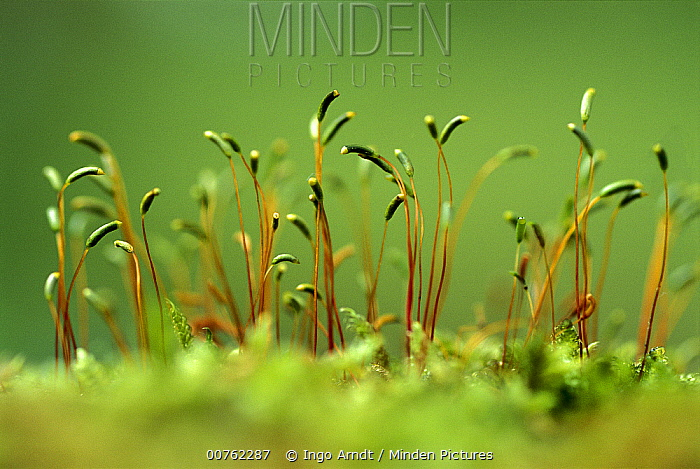 Moss detail showing fruiting heads with spore capsules, Europe  -  Ingo Arndt