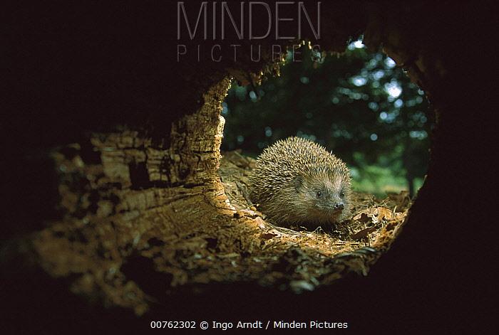 Brown-breasted Hedgehog (Erinaceus europaeus) at entrance to log, Germany  -  Ingo Arndt