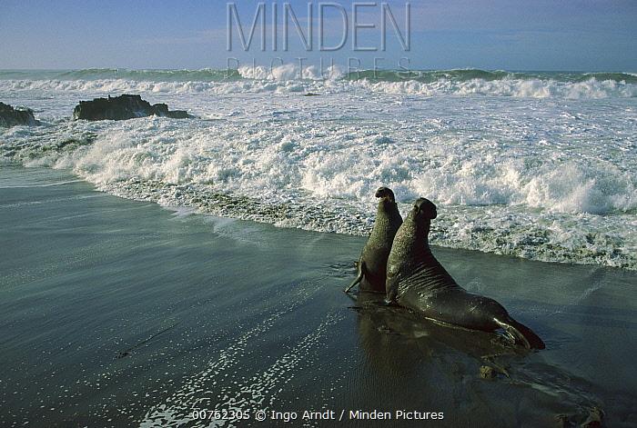 Northern Elephant Seal (Mirounga angustirostris) two fighting bulls, Ano Nuevo State Reserve, California  -  Ingo Arndt