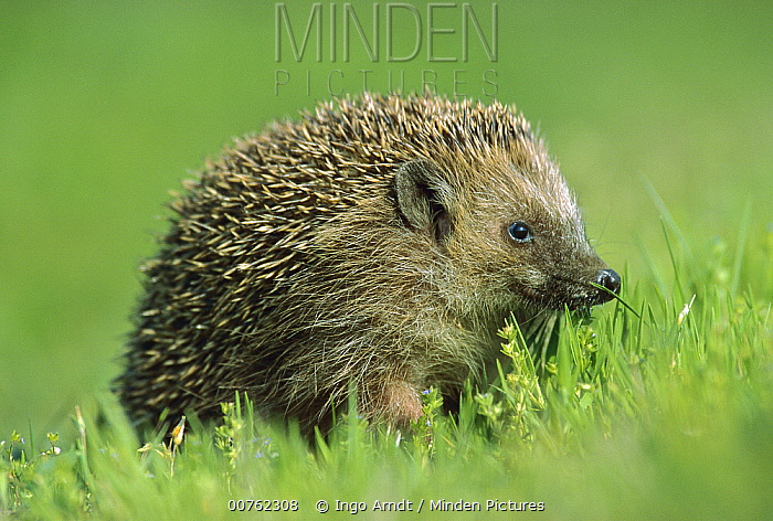 Brown-breasted Hedgehog (Erinaceus europaeus) portrait on lawn, Germany  -  Ingo Arndt
