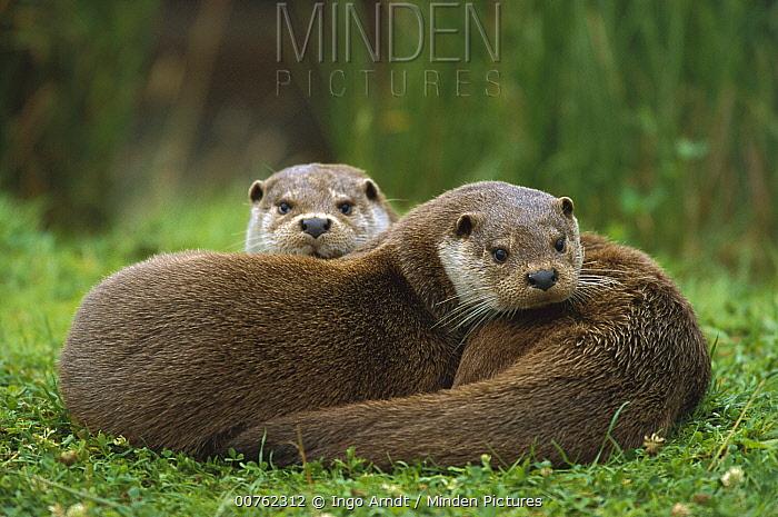 European River Otter (Lutra lutra) sisters resting, Europe  -  Ingo Arndt