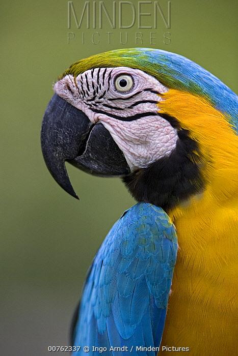 Blue and Yellow Macaw (Ara ararauna) portrait, Amazon ecosystem, Peru  -  Ingo Arndt