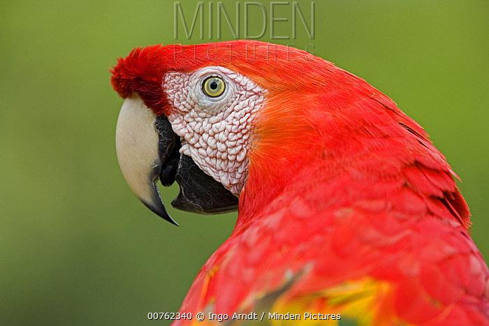 Scarlet Macaw (Ara macao) close up, portrait, Amazon ecosystem, Peru  -  Ingo Arndt