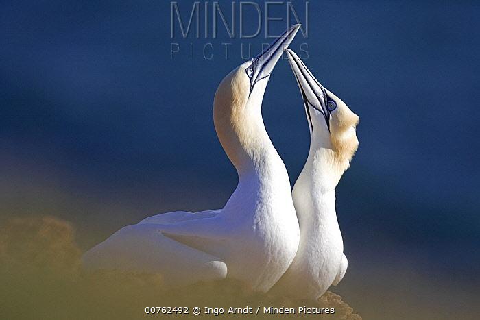 Northern Gannet (Morus bassanus) couple in courtship display, North Sea, Helgoland, Germany  -  Ingo Arndt
