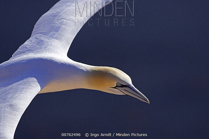 Northern Gannet (Morus bassanus) flying, North Sea, Helgoland, Germany  -  Ingo Arndt