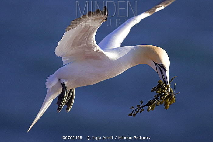 Northern Gannet (Morus bassanus) with nesting material, North Sea, Helgoland, Germany  -  Ingo Arndt