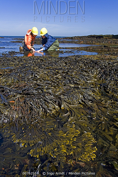 Two scientists from the Alfred-Wegener Institute, collecting tide pool samples, North Sea, Helogland, Germany  -  Ingo Arndt