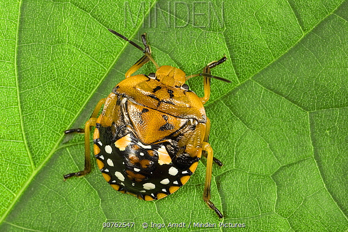 Stink Bug (Pentatomidae) nymph, portrait, a true bug of the Heteroptera suborder, Guanacaste, Costa Rica  -  Ingo Arndt