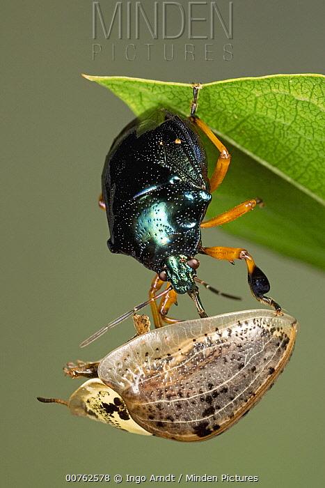 Predatory Stink Bug (Stiretrus anchorago) eating Chrysomelid Beetle (Physonota alutacea) a true bug of the Heteroptera suborder, Guanacaste, Costa Rica  -  Ingo Arndt
