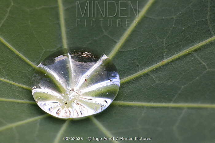 Water drop in leaf of lupine, Germany  -  Ingo Arndt