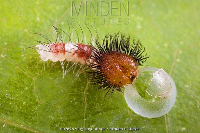 Blue Morpho (Morpho peleides) caterpillar hatching out of egg, Costa Rica  -  Ingo Arndt