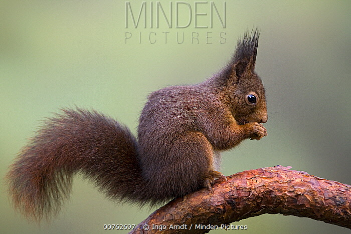 Eurasian Red Squirrel (Sciurus vulgaris) eating, Europe  -  Ingo Arndt