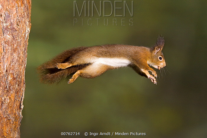 Eurasian Red Squirrel (Sciurus vulgaris) leaping from tree trunk with nut in its mouth, Europe  -  Ingo Arndt