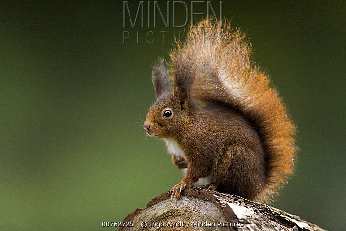 Eurasian Red Squirrel (Sciurus vulgaris) portrait, Europe  -  Ingo Arndt