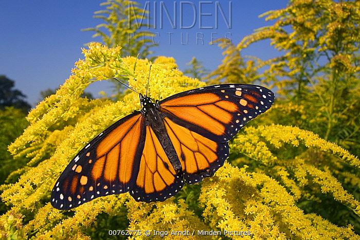 Monarch (Danaus plexippus) butterfly male feeding on nectar of Goldenrod during migration, East Coast, USA  -  Ingo Arndt